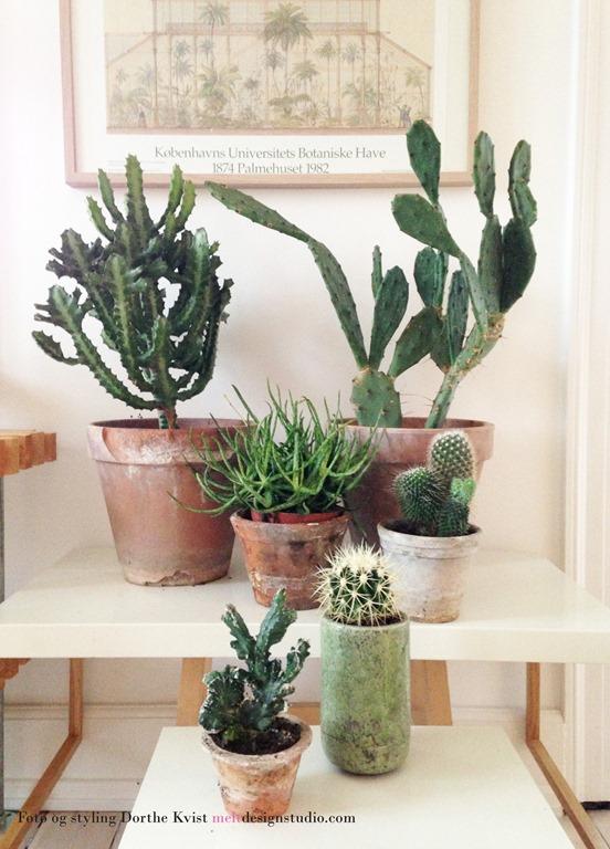 Kaktusser